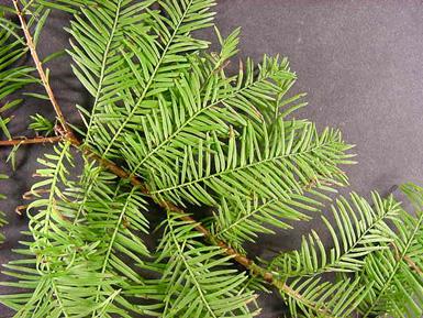 اوراق الاشجار bldcyplf.jpg